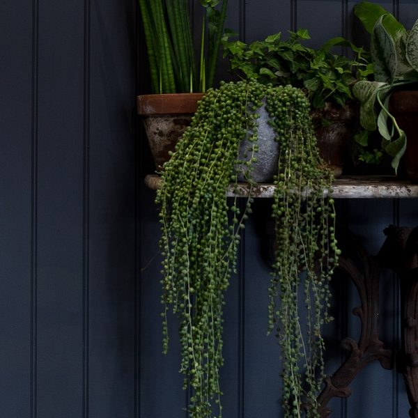 Green plants on a shelf in front of dark coloured wall