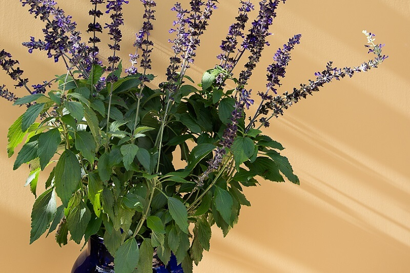 Ochre wall with purple salvia in front